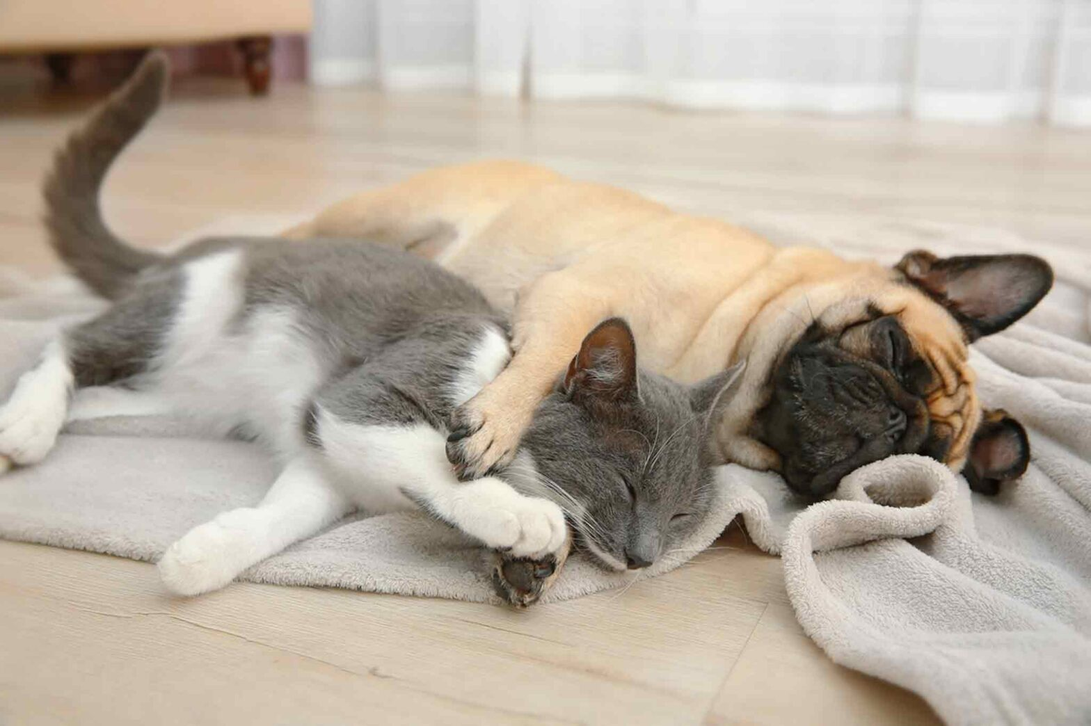 Do Pugs Get Along With Cats?