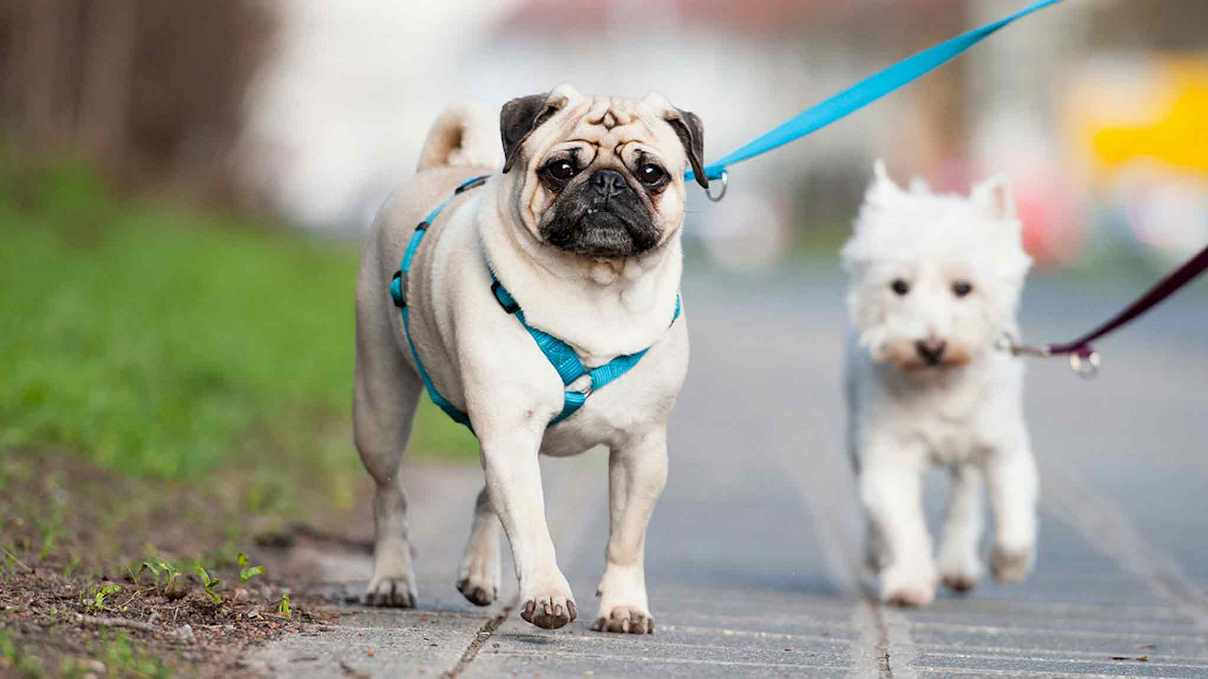How To Choose The Best Harness For Your Pug
