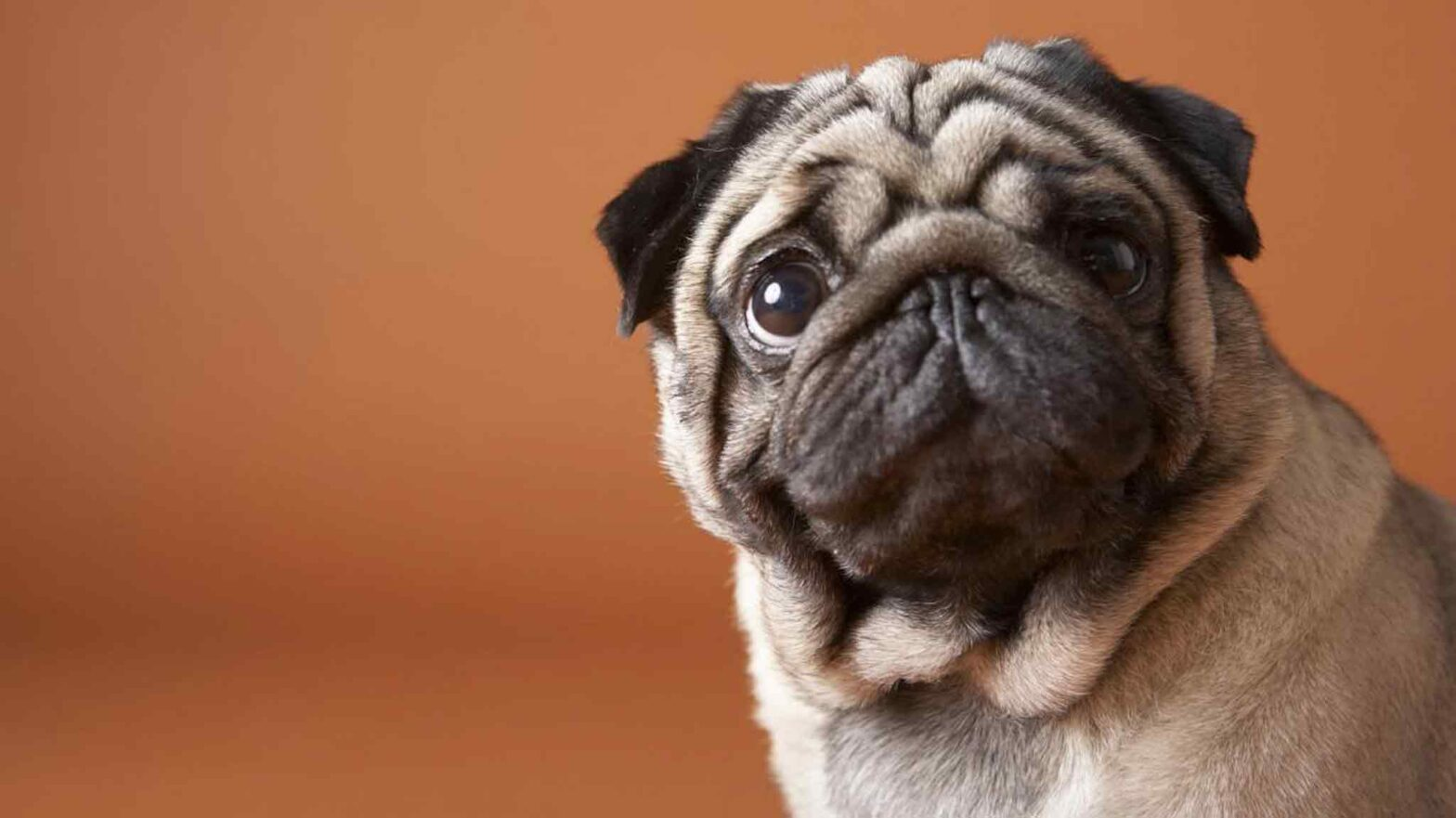 Ever Wonder Why Your Pug Stares At You All The Time?