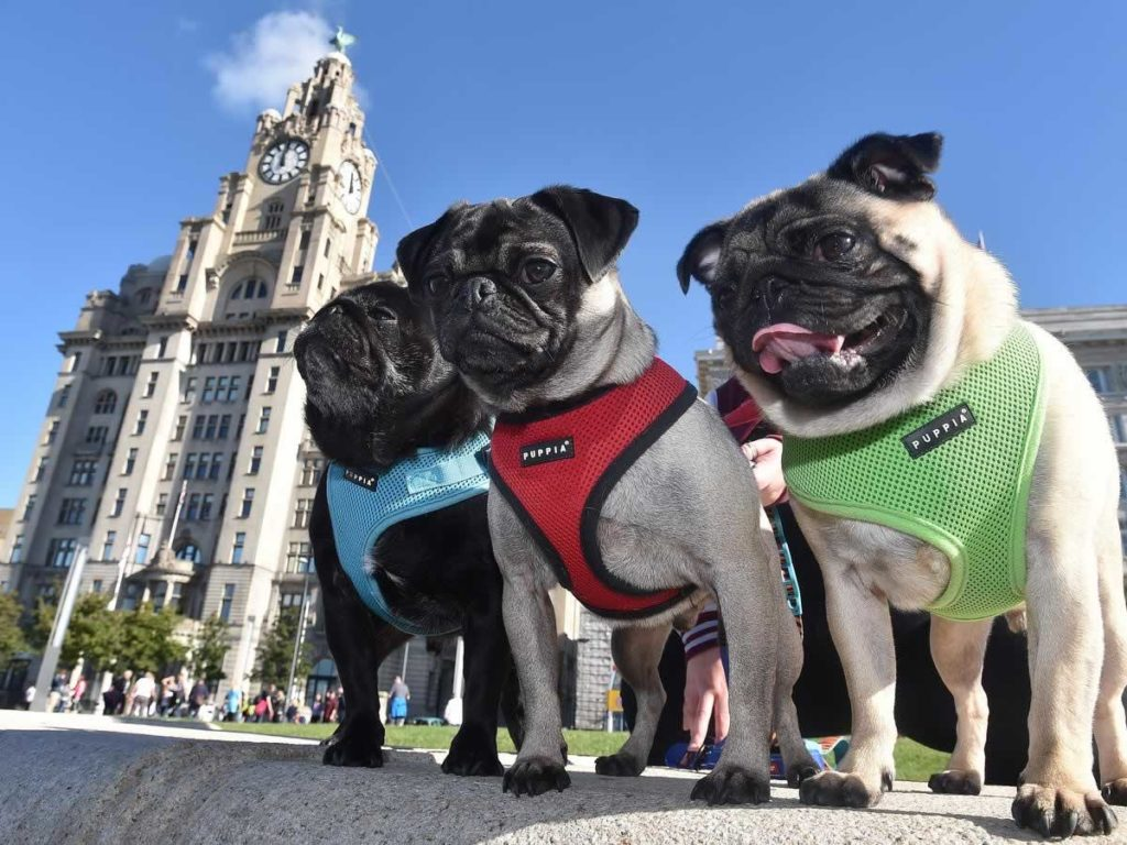 7 Choices For Successful Pug Housetraining