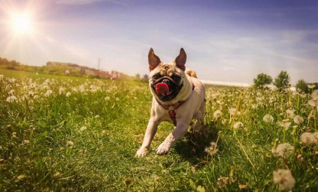 Basic Training Equipment For Your Pug