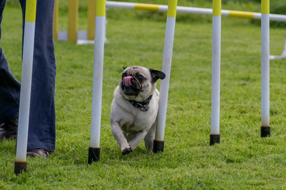 Can You Train Your Pug For Dog Sports?