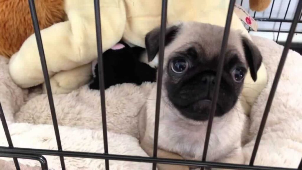 Crate Training Tips For Your Pug Puppy