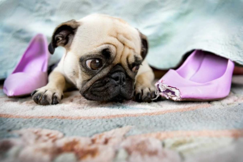 Getting Ready For Your Pug