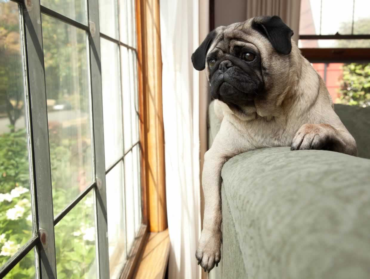 How Much Do Pugs Really Shed
