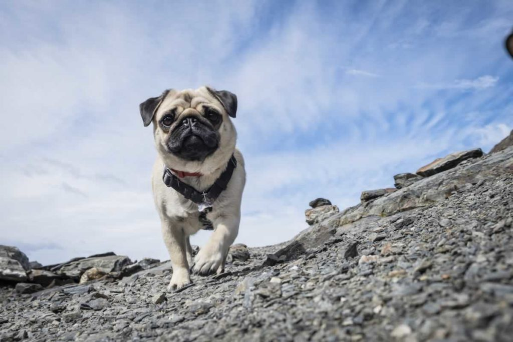 Pugs And Agility Courses