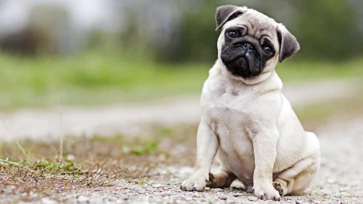 Short Pug Care