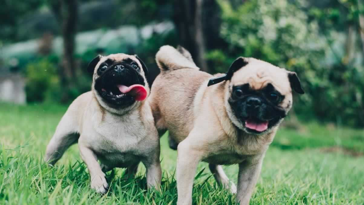 Pugs And Obedience Class