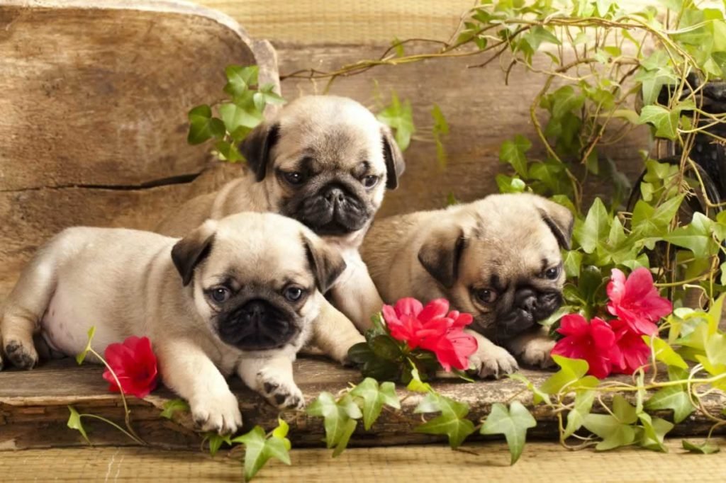 Top 5 Most Interesting Facts About Pugs