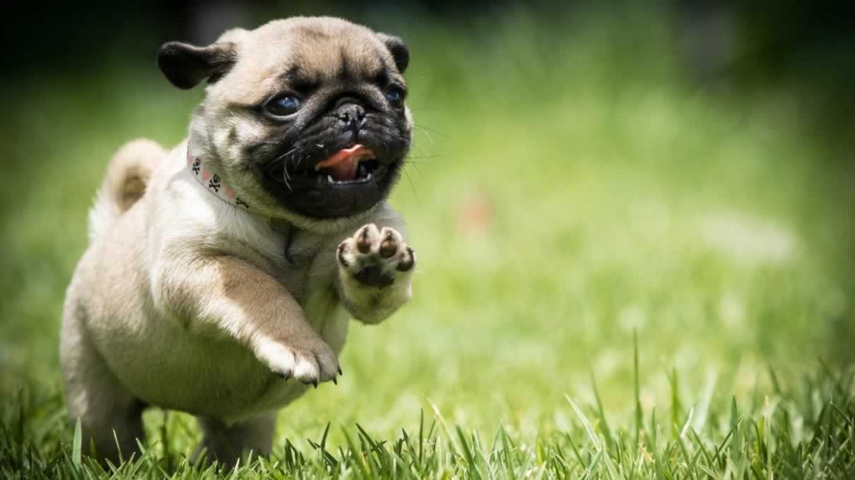 Trick Training For Your Pug