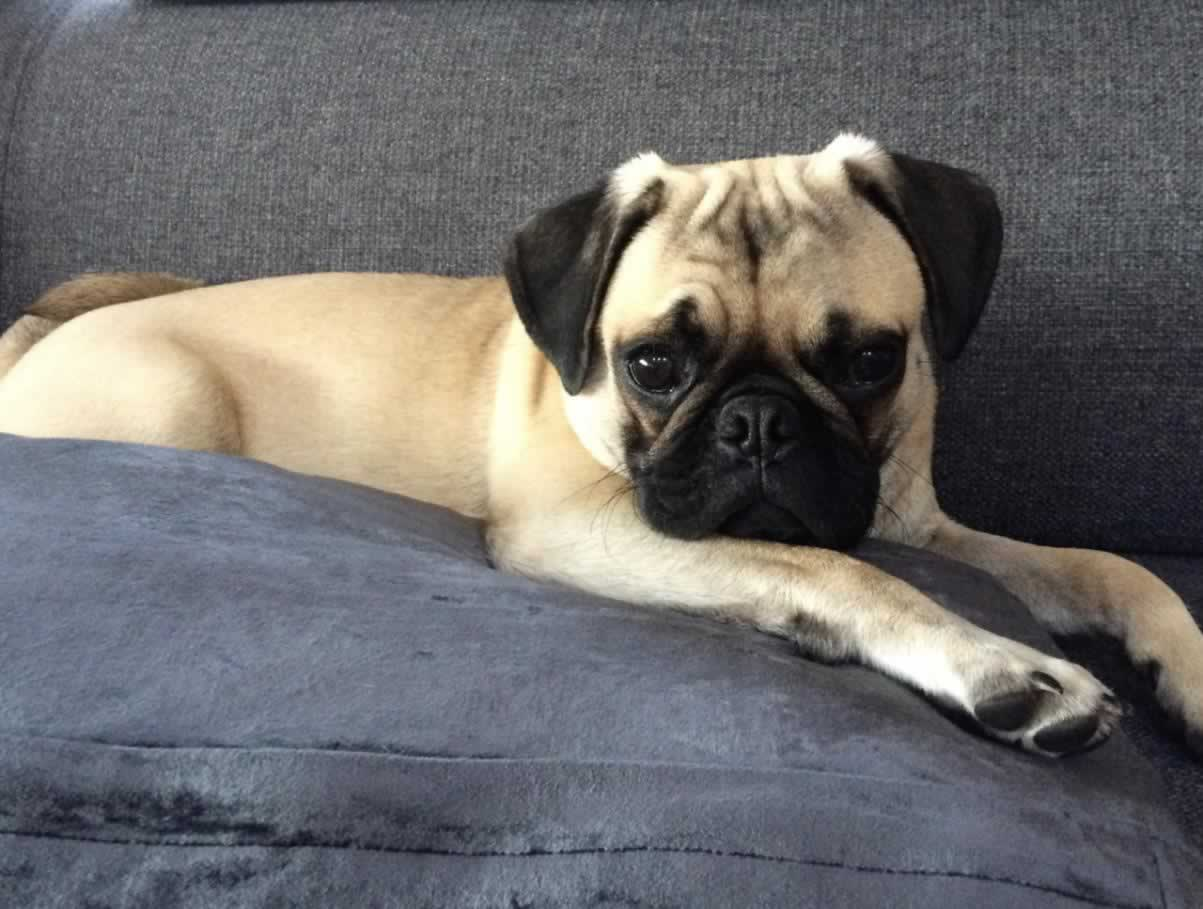 What Is Pug Dog Encephalitis