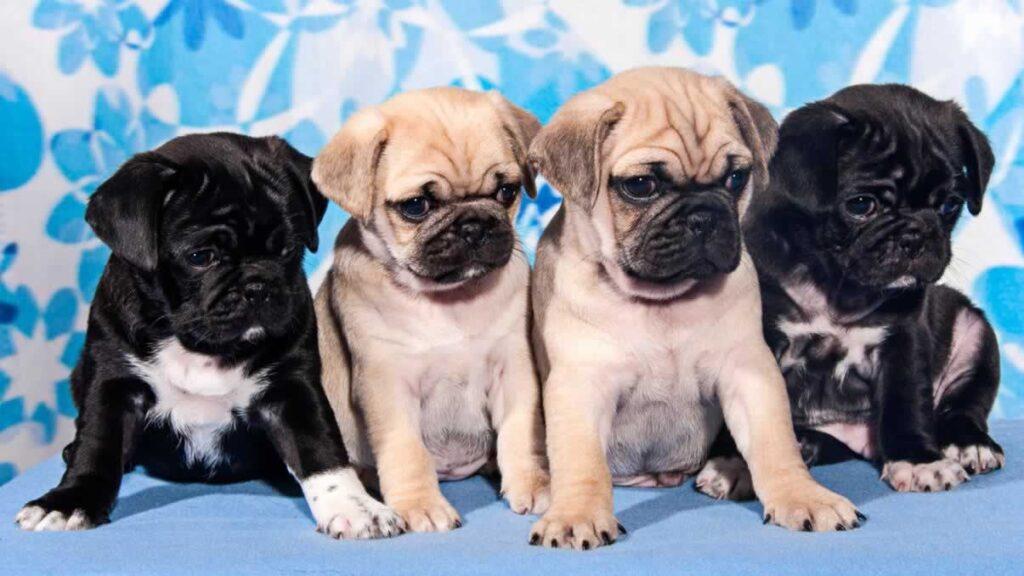 Pugs - Why Register Them?